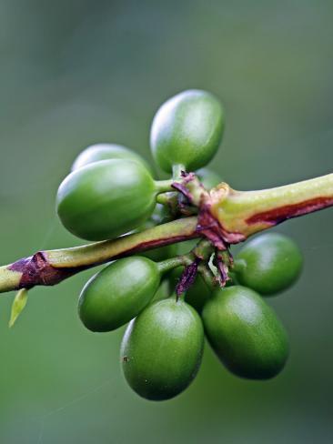 Coffee Beans Growing at Finca (Plantation) on Ruta De Las Siete Cascadas Photographic Print