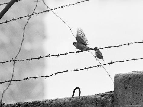 Sparrow Landing on Barbed Wire Atop the Berlin Wall Photographic Print