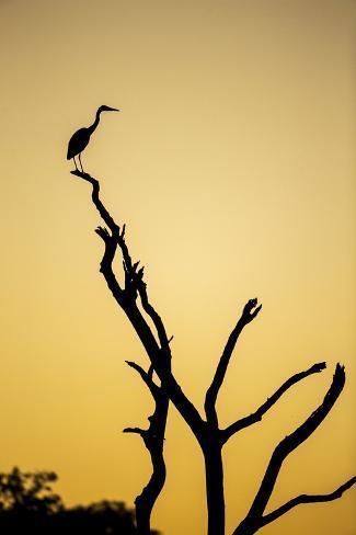 botswana chobe np savuti silhouette of yellow billed egret at