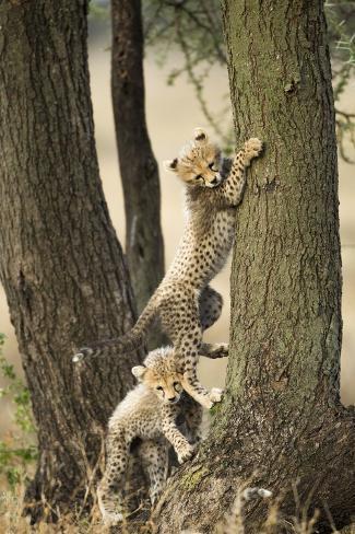 Cheetah Cubs Playing at Ngorongoro Conservation Area, Tanzania Photographic Print