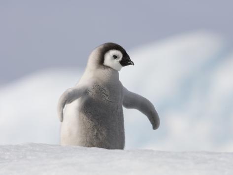 Emperor Penguin Chick in Antarctica Photographic Print