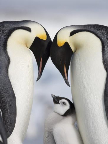 Emperor Penguins and Chick in Antarctica Stampa fotografica