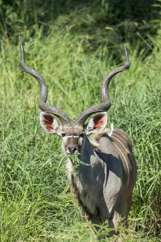Greater Kudu Bull, Kruger National Park, South Africa Photographic Print