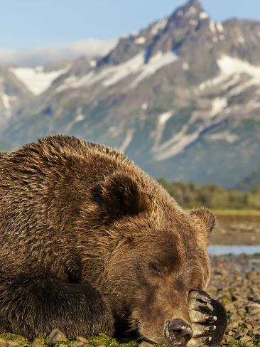 Grizzly Bear Resting on Tidal Flats Along Kukak Bay, Katmai National Park, Alaska, Usa Photographic Print