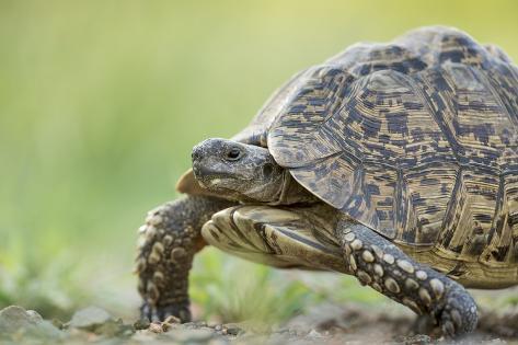 Leopard Tortoise, Kruger National Park, South Africa Photographic Print
