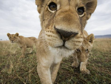 Lion Cubs in Masai Mara Game Reserve, Kenya Photographic Print