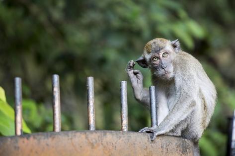 Long-Tailed Macaque at Batu Caves, Kuala Lumpur, Malaysia Photographic Print