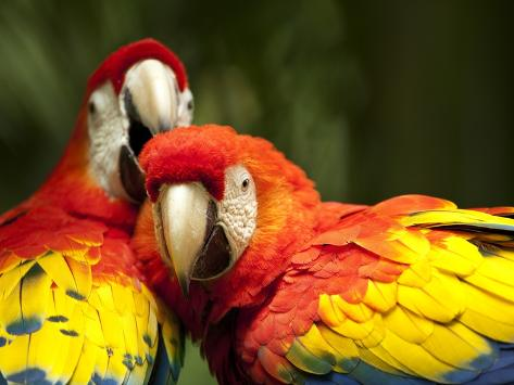 Scarlet Macaws at Zoo Ave Park, Outside San Jose Photographic Print