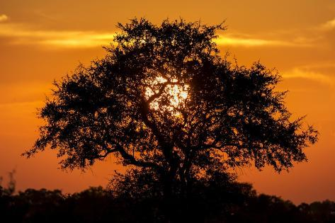 Sunset and Acacia Tree, Kruger National Park, South Africa Photographic Print