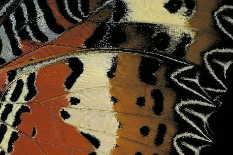 Cethosia Hypsea (Malay Lacewing) - Wings Detail Photographic Print