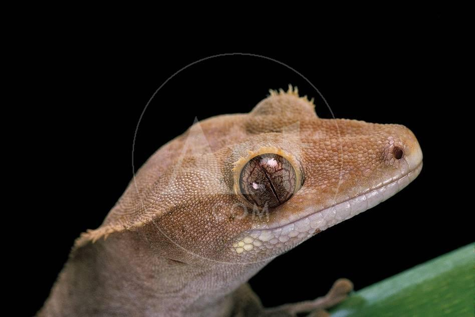 Rhacodactylus Ciliatus Eyelash Gecko Photographic Print By Paul