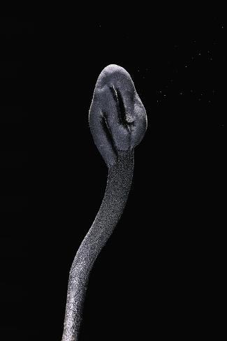 Trichoglossum Hirsutum (Black Earth Tongue) Photographic Print