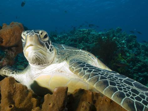 Green Turtle, Chelonia Mydas, at Rest in the Coral, Gili Islands Photographic Print