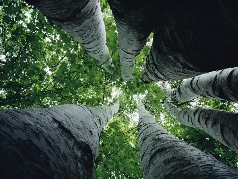 View Looking up the Trunk of a Sycamore Tree Photographic Print