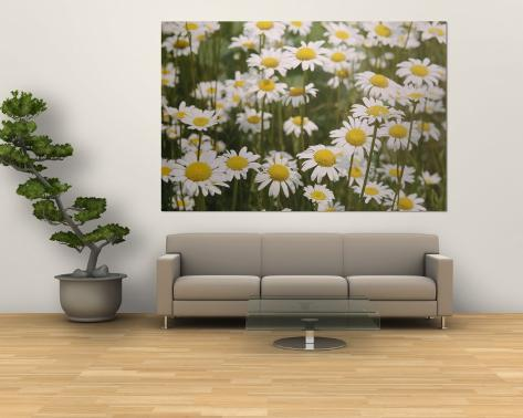 View of a Field of Daisies Wall Mural