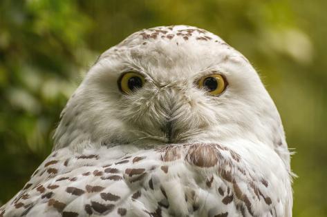 Portrait  White Snow Owl - Open Eyes Photographic Print