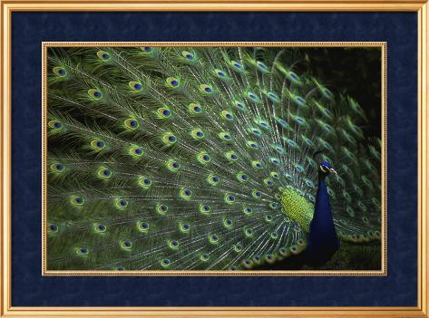 Peacock with Feathers Framed Art Print