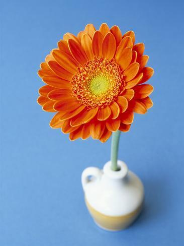 Orange Gerbera Flower Against a Blue Background Photographic Print