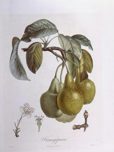 Pears, Henry Louis Duhamel Du Monceau, Botanical Plate Stampa giclée