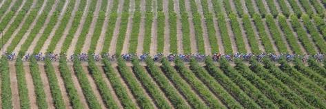 Peloton Rides Through Vineyards in Third Stage of Tour de France, July 6, 2009 Fotoprint