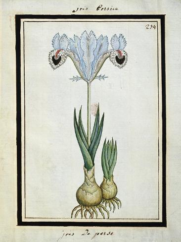 Persian Iris, C.1700 Stampa giclée