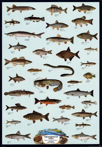 Pesce di acqua dolce Poster