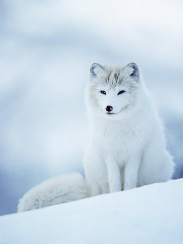 Arctic Fox Male Portrait, Norway Photographic Print
