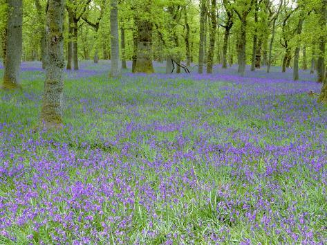 Bluebells Flowering in Beech Wood Perthshire, Scotland, UK Photographic Print