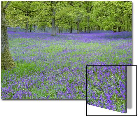 Bluebells Flowering in Beech Wood Perthshire, Scotland, UK Art on Acrylic