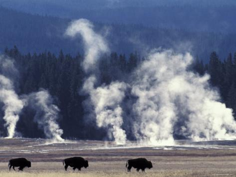 Landscape with Bison and Steam from Geysers, Yellowstone National Park, Wyoming Us Photographic Print
