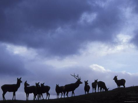 Red Deer Herd Silhouette at Dusk, Strathspey, Scotland, UK Photographic Print