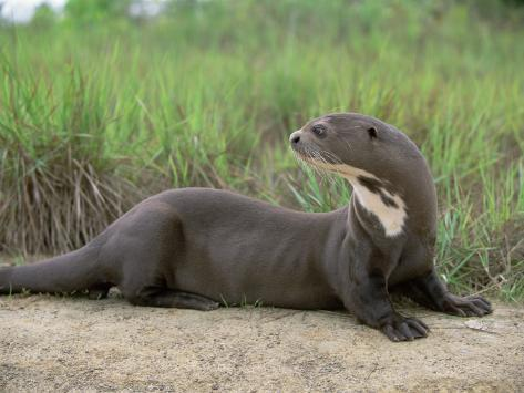 Giant Otter, Guyana Photographic Print