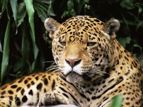 Jaguar Portrait, South America Impressão Fotográfica