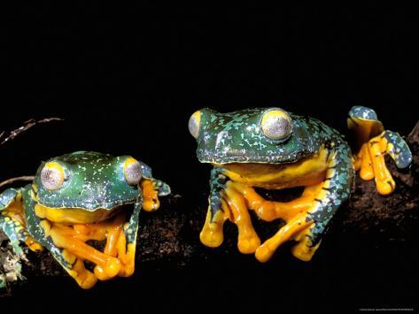Leaf Frogs, Amazon, Ecuador Photographic Print