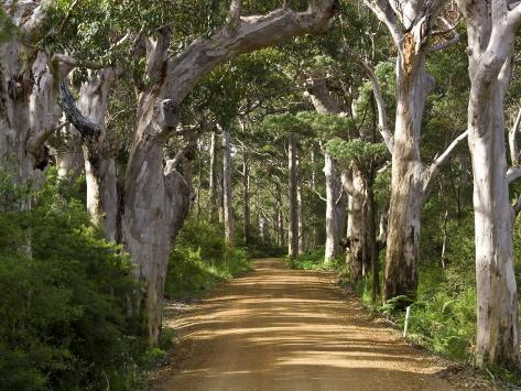 Avenue of Trees, West Cape Howe Np, Albany, Western Australia Photographic Print