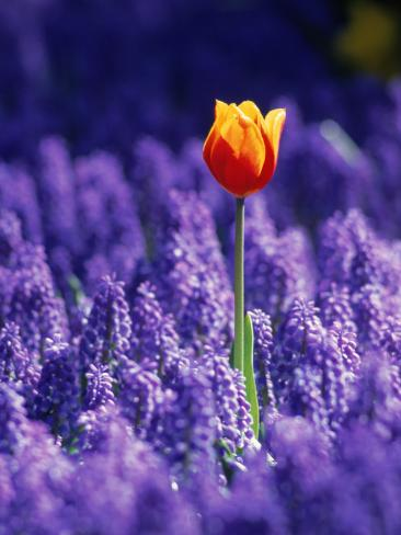 Tulip, Holland Photographic Print