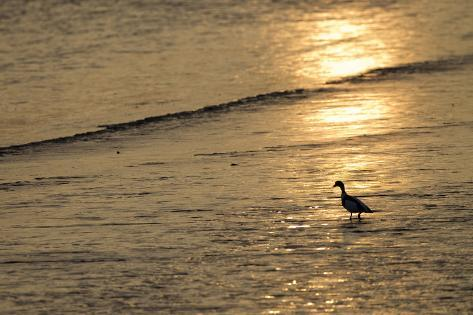 Sunrise over Coastal Mudflats with Shelduck Feeding, Campfield Marsh, Solway Firth, Cumbria, UK Photographic Print