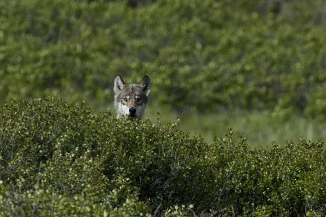 A Female Gray Wolf, Canis Lupus, Peering over a Shrub Near Her Den Photographic Print