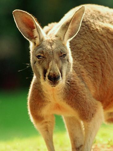 Australian Red Kangaroo Photographic Print