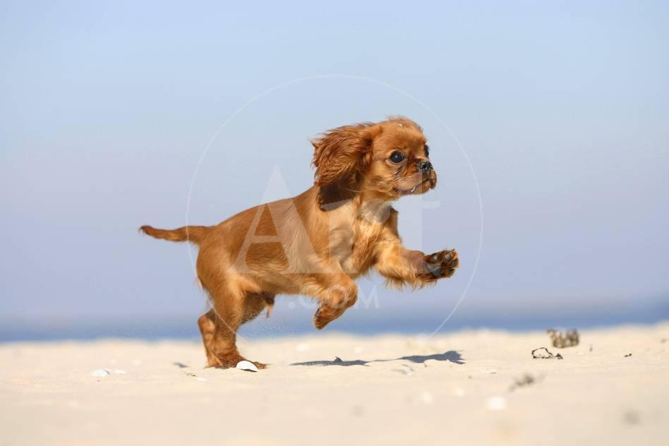 Cavalier king charles spaniel puppy 14 weeks ruby running on cavalier king charles spaniel puppy 14 weeks ruby running on beach jumping photographic print by petra wegner at allposters altavistaventures Image collections