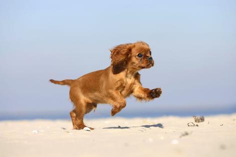 Cavalier king charles spaniel puppy 14 weeks ruby running on cavalier king charles spaniel puppy 14 weeks ruby running on beach jumping altavistaventures Choice Image