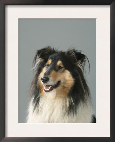 Collie Framed Art Print