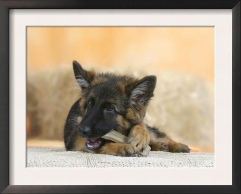 Domestic Dog, German Shepherd Alsatian Juvenile. 5 Months Old, Chewing on Rawhide Bone Framed Art Print