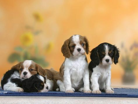 Domestic Dogs, Four Cavalier King Charles Spaniel Puppies, 7 Weeks Old, of Different Colours Photographic Print