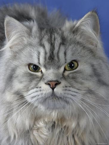 Head of Persian Cat Photographic Print