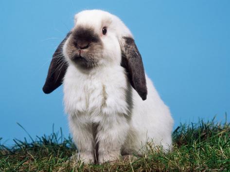 Lop-Eared Dwarf Rabbit Photographic Print