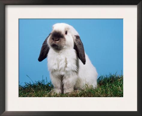Lop-Eared Dwarf Rabbit Framed Art Print