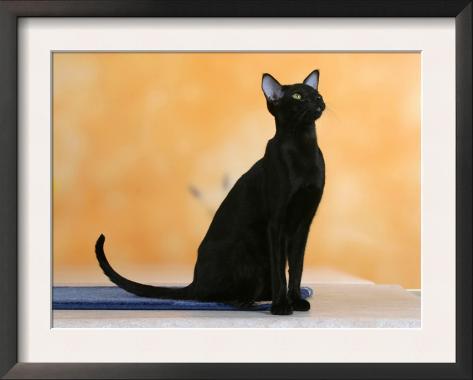 Oriental Shorthair Cat, Black Ebony Framed Art Print