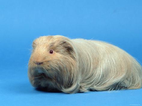 Sheltie Guinea Pig Photographic Print