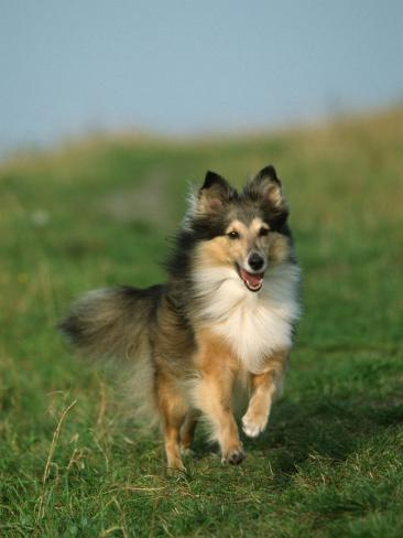 Sheltie / Shetland Sheepdog Running Photographic Print